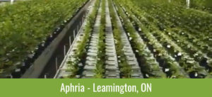 Plants - Aphria - Leamington, ON